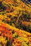 Aspen Trees Stock Image