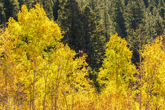 Aspen trees changing color against a backdrop of green pine tree Stock Photos