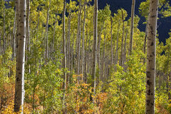 Aspen Trees changing colors Stock Photography