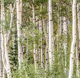 Aspen Trees Close Up Fotografie Stock Libere da Diritti