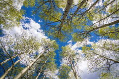 Aspen Trees and Clouds. Looking up through a forest of Aspen trees in Colorado at a blue sky with white clouds stock photography