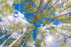 Aspen Trees and Clouds. Looking up through a forest of Aspen trees in Colorado at a blue sky with white clouds Stock Images