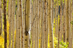 Aspen Trees in Colorado. Thick forest of golden Aspen trees in autumn in Colorado royalty free stock image