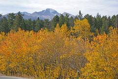 Aspen trees in Colorado mountains in the fall. Pines nearby. Stock Photography