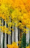 Aspen. trees in Colorado. Rocky Mountains in the fall with aspen Stock Photography