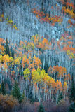 Aspen trees Royalty Free Stock Photo