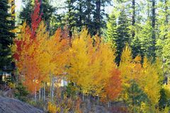 Aspen trees colored Stock Photos