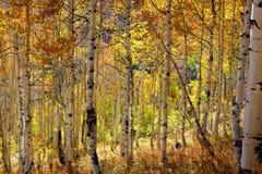 Aspen trees Stock Photography