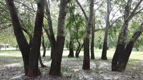 Aspen trees, cottonwood Royalty Free Stock Image