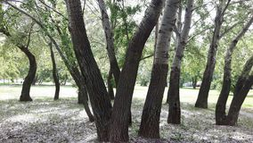 Aspen trees, cottonwood Stock Images