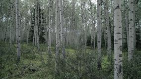 Aspen Trees dolly schot, 4K, UHD stock videobeelden