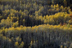 Aspen Trees, Durango Colorado. Looking up at a canopy of yellow leaves, formed by aspen trees Royalty Free Stock Photo