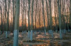 Aspen Trees en la puesta del sol Imagenes de archivo