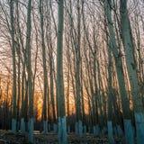 Aspen Trees en la puesta del sol 2 Fotografía de archivo