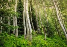 Aspen Trees en Vail Fotografía de archivo