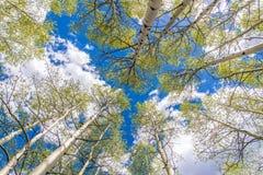 Aspen Trees en Wolken Stock Afbeeldingen