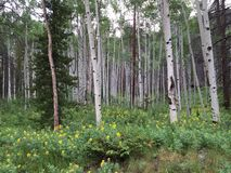 Aspen Trees et fleurs sauvages de jaune photographie stock