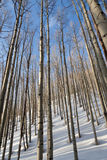 Aspen trees in evening light Stock Photography