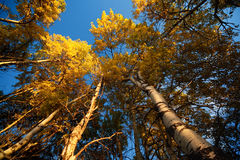 Aspen Trees in Fall Royalty Free Stock Images
