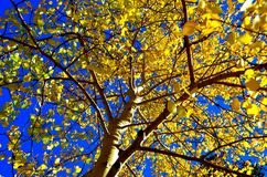 Aspen Trees. In the fall Royalty Free Stock Images