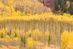 Aspen trees in the fall Royalty Free Stock Photo