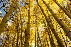 Aspen Trees in Aspen, Colorado. Aspen trees in the Fall in Aspen, Colorado at Maroon Bells stock image