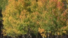 Aspen Trees in Fall. Aspens flutter in the wind in fall stock video footage
