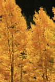 Aspen trees with fall color, San Juan National Forest, Colorado Stock Image