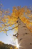 Aspen trees with fall color, San Juan National Forest, Colorado. USA royalty free stock image