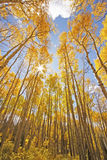 Aspen trees with fall color, San Juan National Forest, Colorado Stock Images
