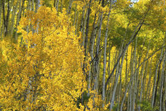 Aspen trees with fall color, San Juan National Forest, Colorado Royalty Free Stock Photography
