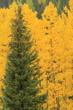 Aspen trees with fall color, Uncompahgre National Forest, Colora Royalty Free Stock Image