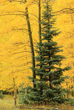 Aspen trees with fall color, Uncompahgre National Forest, Colora Stock Photos