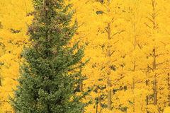 Aspen trees with fall color, Uncompahgre National Forest, Colora Stock Image