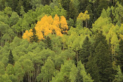 Aspen trees with fall color, Uncompahgre National Forest, Colorado stock photo