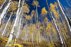 Aspen Trees In Fall Colorado-Bergen Stock Afbeeldingen