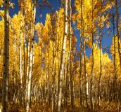 Aspen Trees in Fall in Colorado. Sun shines through the yellow leaves of branches of Aspen Trees next to a trail in the forest in a fall morning on Colorado.n royalty free stock photos