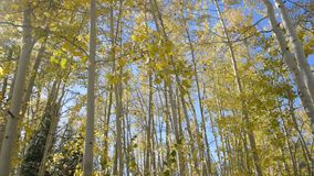 Aspen Trees Fall Colors stock video