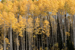 Aspen trees in the fall with yellow leaves Royalty Free Stock Image