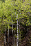 Aspen trees in forest Royalty Free Stock Images