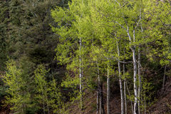 Aspen trees in forest Royalty Free Stock Photos