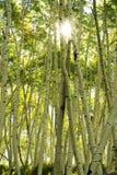 Aspen trees forest, Rocky Mountains, Colorado Royalty Free Stock Photos