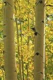 Aspen trees forest, Rocky Mountains, Colorado. USA stock photography