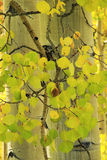 Aspen trees forest, Rocky Mountains, Colorado Stock Photography