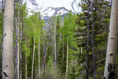 Aspen Trees Framing een Sneeuwbergpiek in Rocky Mountain National Park stock foto's