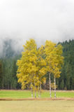 Aspen Trees in Full Color Royalty Free Stock Image