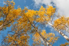 Aspen Trees Reaching to the Sky  in Autumn Royalty Free Stock Photography