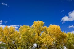 Aspen trees with golden yellow leaves with blue sky. This is the picture of Aspen tree with golden yellow leaves from Aspen, Colorado Royalty Free Stock Photos