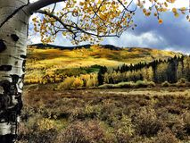 Autumn Aspen Trees with Yellow Leaves in a Open Field. Aspen trees at the height of their bright yellow colored leaves during the autumn / fall season in stock photography