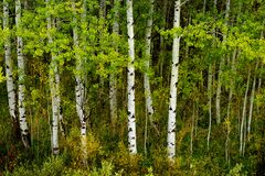 Free Aspen Trees In Fall With Colors Lush Forest Birch Royalty Free Stock Images - 197154939